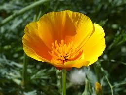 Medicinal herb poppy