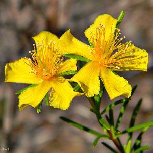 St. John's Wort medicinal herb